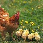 屬雞的人命好嗎?2020年運程如何?