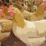 谈谈十一月出生的属鸡人命运好吗