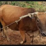 属牛和什么属相最相配 哪些生肖很配属牛人