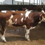 属牛与什么属相最配 跟属牛人配对的生肖有哪些