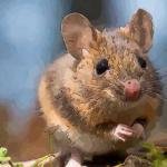 属鼠的几月出生最好 这些月份出生的属鼠人命真好