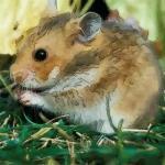 生肖属鼠女的性格特点分析 属鼠女的性格具体介绍