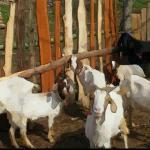 生肖属羊的人一生命运 属羊人一生运势详细分析