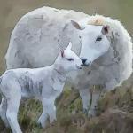属羊最佳婚配属相是什么 谁和属羊人最配