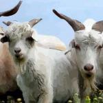十二生肖中羊和什么比较配 最配属羊人的生肖有哪些