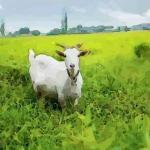 属羊的2021年多少岁 2021年生肖羊多大年纪