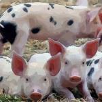 生肖猪出生月份命运 这几个月出生的属猪人命好