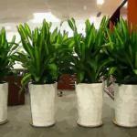 關于植物的風水:辦公室擺放花卉禁忌