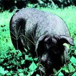 1995年属猪2022年破太岁运势怎么样,95年27岁生肖猪犯太岁破解方法