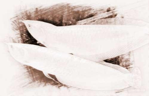 銀龍魚養幾條好
