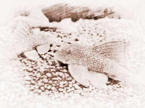 什么样的家庭适合养清道夫鱼 对风水有何影响?