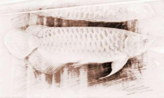 养红龙鱼必须了解这些风水禁忌