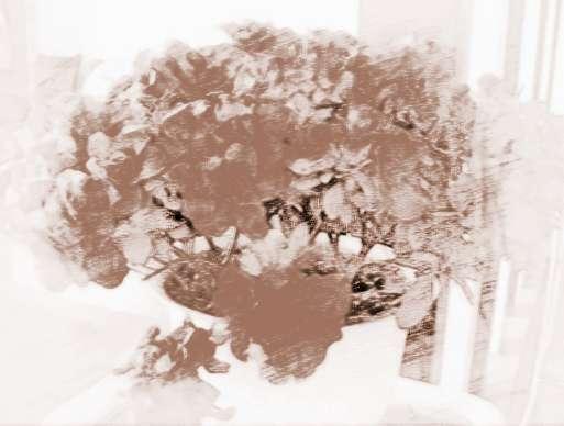 盆栽杜鹃的养护方法