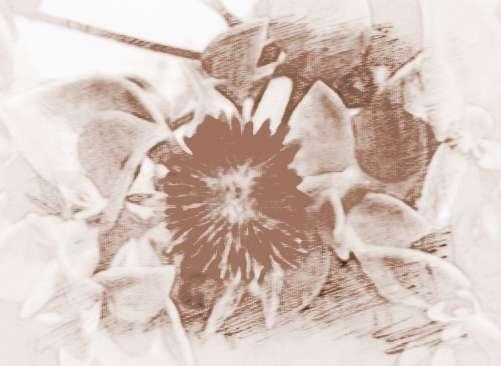 三七为伞形目五加科人参属多年生草本植物