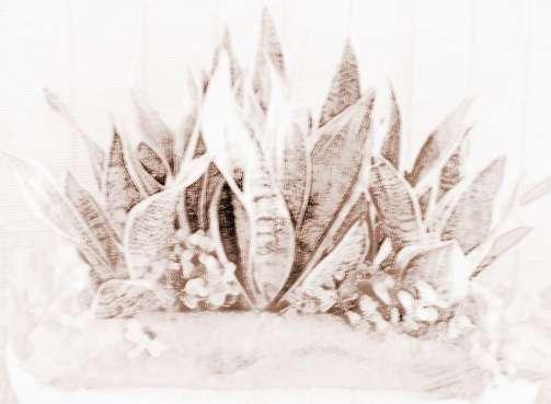 虎皮兰有什么风水作用|植物虎皮兰的风水作用是什么