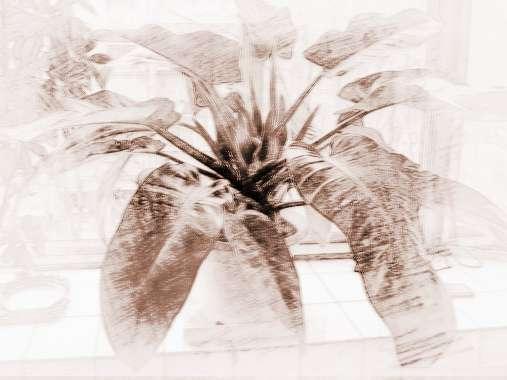 龙铁树的风水作用_铁树在风水中的作用是什么?