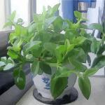 辦公桌上適合擺放什么樣的風水植物?分別有何作用?