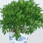 非洲茉莉的風水作用 非洲茉莉怎么養殖