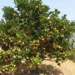 小院子里种橘子树好不好 有什么风水讲究