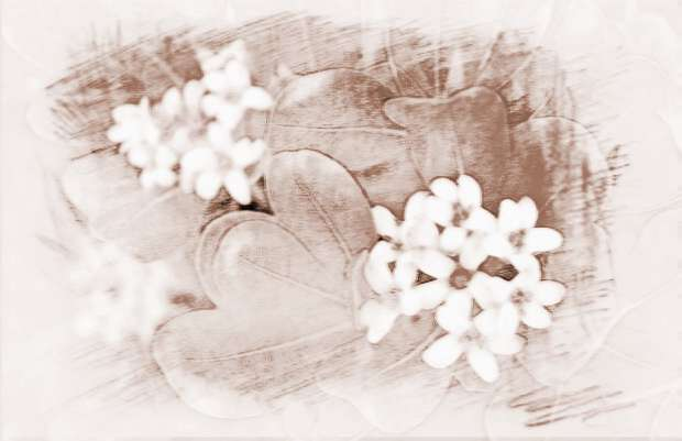 住宅中种植鹅掌柴 应该如何摆放?
