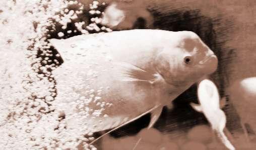 招财鱼风水图片