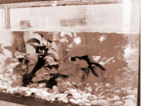 孩子的鱼缸摆放及风水要小心啥