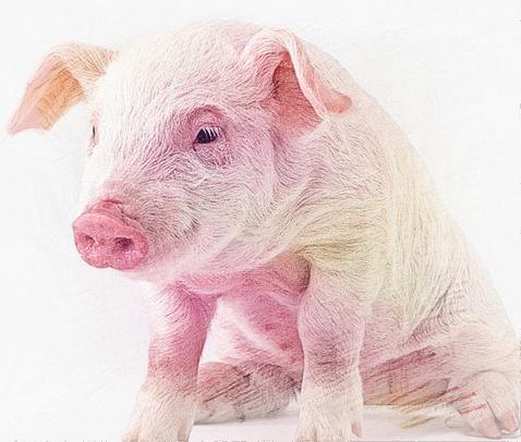 十二生肖属猪婚姻