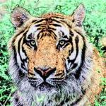 2022虎年本命年的运势 虎本命年值太岁是什么意思